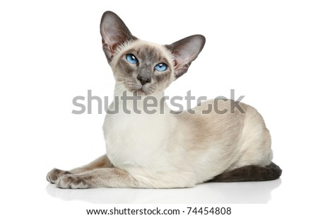 Oriental Blue-point siamese cat posing on a white background - stock photo