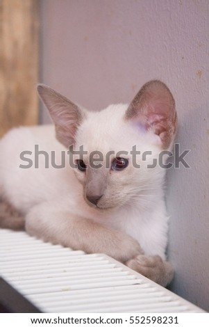 Oriental blue-point Siamese kitten