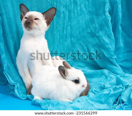 Oriental blue-point Siamese kitten and small white rabbit sitting on blue background