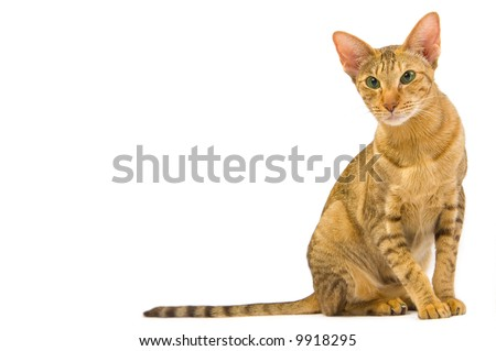 Oriental cat sitting isolated on white - stock photo
