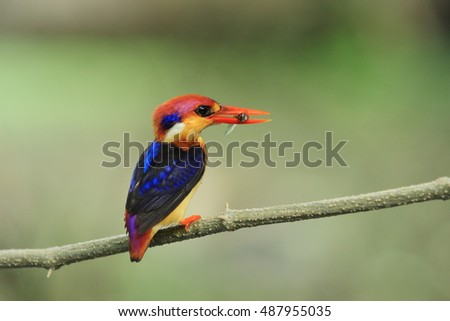 Oriental Dwarf Kingfisher (Back-backed Kingfisher)