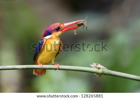 Oriental Dwarf-Kingfisher, Ceyx erithaca, photographed �somewhere� in Thailand
