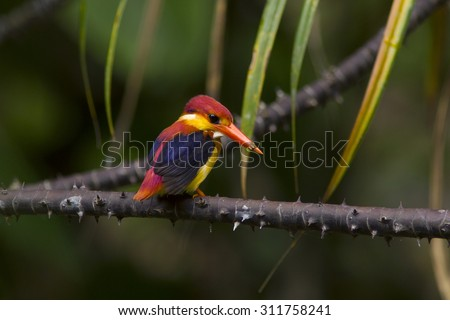 Oriental Dwarf Kingfisher Rainforest Discovery Center, Borneo, Malaysia