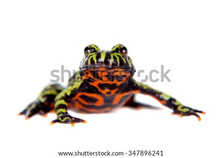 Oriental Fire-bellied Toad, Bombina orientalis, isolated on white background - stock photo