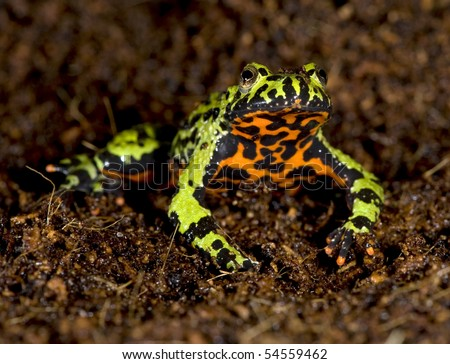 oriental fire bellied toad male in defensive pose showing belly, china, green frog - stock photo