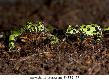 oriental fire bellied toads together in dirt , china, green frog - stock photo