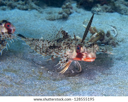 Oriental flying gurnard - stock photo