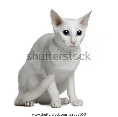 Oriental foreign white cat, 1 year old, sitting in front of white background - stock photo