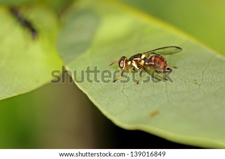 Oriental fruit fly is staying on the green leaf - stock photo