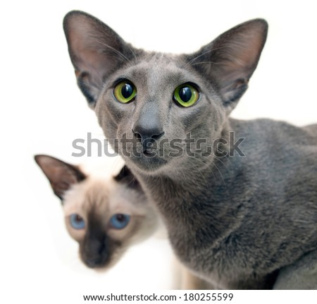 Oriental  grey shorthair and Siamese cat isolated on the white background