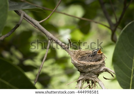 Oriental Magpie-Robin baby (two weeks) waiting food from mother and father in the nest. Bird background. - stock photo