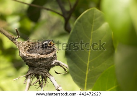 Oriental Magpie-Robin baby (two weeks) waiting food from mother and father in the nest. bird baby - stock photo