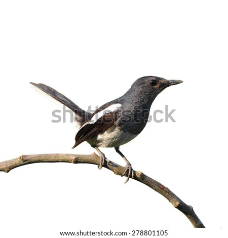 Oriental Magpie Robin (Female) isolated on white background