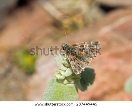 Oriental Marbled Skipper butterfly on Lesvos, Greece - stock photo