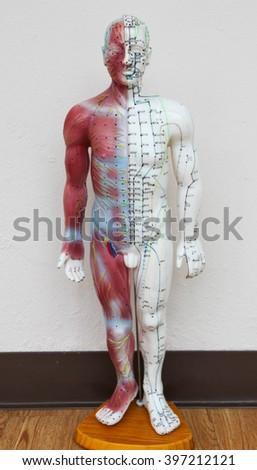 Oriental Medicine model in hospital no.2 - stock photo