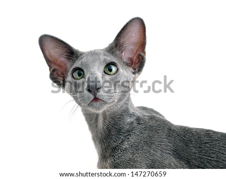 Oriental Shorthair adult  kitten