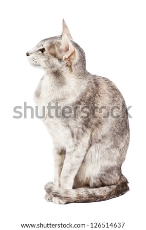 Oriental shorthair cat sitting, tail curled around feet, isolated on white