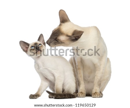 Oriental Shorthair father sitting with its kitten, 9 weeks old, against white background - stock photo