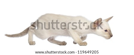 Oriental Shorthair kitten walking in an attack posture against white background - stock photo