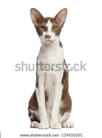 Oriental Shorthair sitting and looking at camera against white background - stock photo