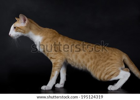 Oriental Siamese breed, black background, isolated.