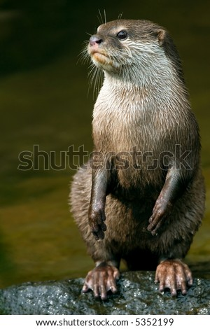 oriental small clawed otter or aonyx cinerea - stock photo