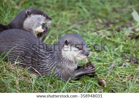 Oriental Small Clawed Otters eating their prey