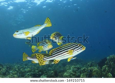 Oriental Sweetlips fish underwater on coral reef - stock photo