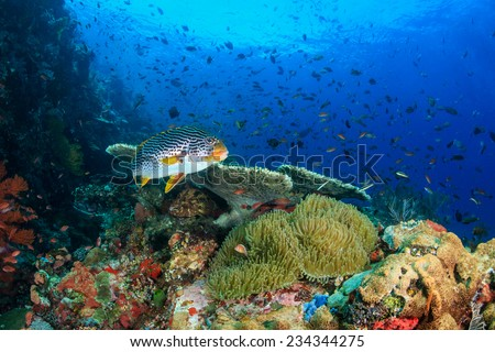 Oriental Sweetlips swimming across a healthy, thriving, colorful tropical coral reef