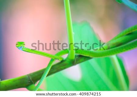 Oriental Whipsnake or Asian Vine Snake (Ahaetulla prasina) on a tree, with vintage tones. - stock photo