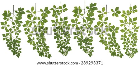 Original size Full Frame of the Collected Araliaceae isolated on white background - stock photo
