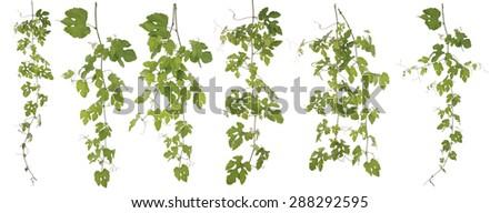 Original size Full Frame of the Collected Rubus Ampelopsis humulifolia Bge isolated on white background - stock photo