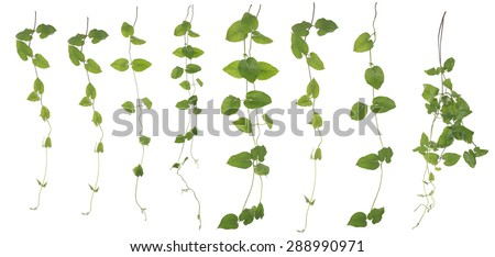 Original size of the Collected Lush ivy isolated on white background