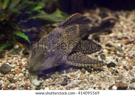 Orinoco sailfin catfish (Pterygoplichthys multiradiatus), also known as the pleco. Wild life animal.  - stock photo