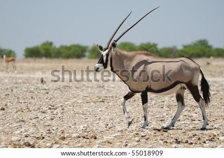 Orix in the bush - stock photo