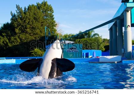 "ORLANDO, USA - MARCH 30: Killer whales in the most popular ""SeaWorld Orlando Florida Theme Park"" on March 30, 2014 in Orlando, USA - stock photo"