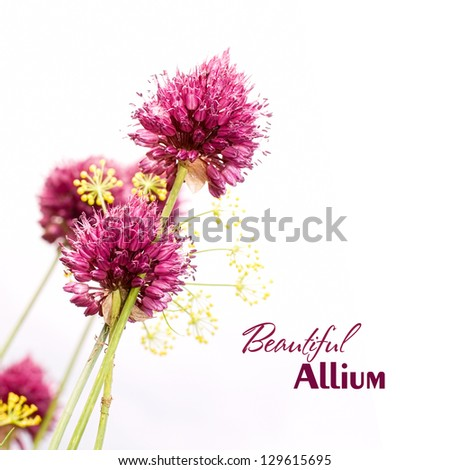 Ornamental Allium. Beautiful garden flower - stock photo