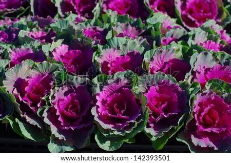 Ornamental cabbage field. - stock photo