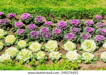 Ornamental Cabbage in The Garden, Thailand. - stock photo