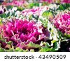 Ornamental cabbages - stock photo