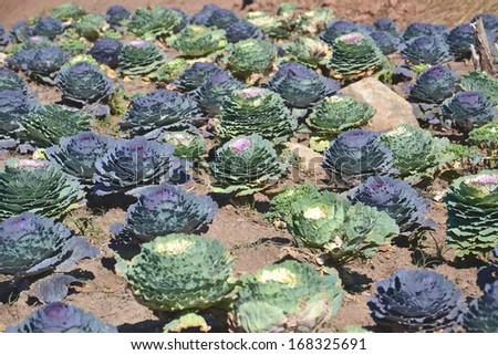 ornamental cabbages growing in the vegetable plot in the garden