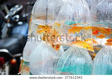 Ornamental fish swimming in plastic bags, hanging on a motorcycle for sale on the street