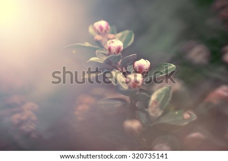 ornamental flowering dogwood - stock photo