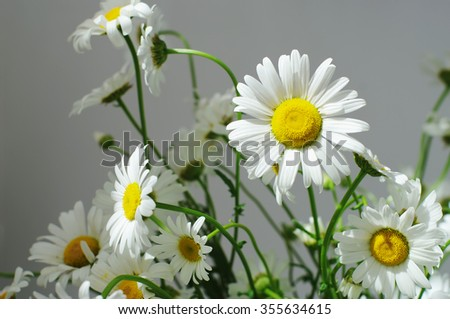 ornamental flowers big white camomile closeup, local soft focus, shallow DOF - stock photo