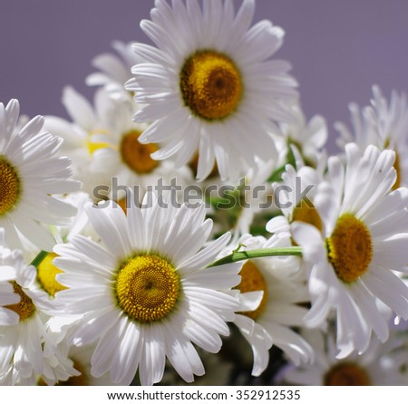 ornamental flowers big white camomile closeup, local soft focus, shallow DOF, toned  - stock photo