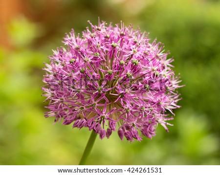 Pacific Bulb Society | Big Ball Alliums