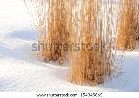 Ornamental grasses in winter in the snow - stock photo