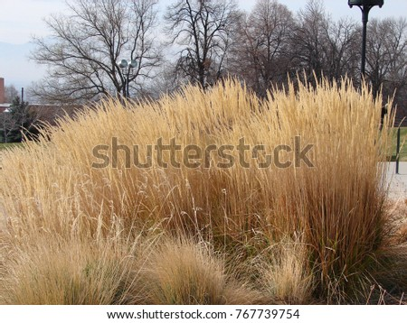 Ornamental grasses winter karl foerster grass stock photo edit now ornamental grasses in winter karl foerster grass workwithnaturefo