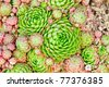 Ornamental groundcover perennial, the latin name Sempervivum. English name: Hens and Chickens - stock photo