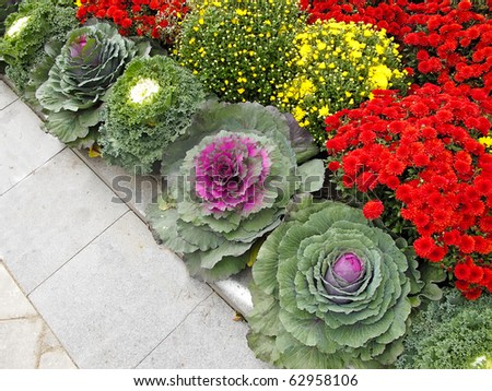 Good Ornamental Kale And Chrysanthemums In Flower Border